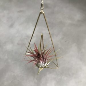 Tillandsia ionantha triangle no.3