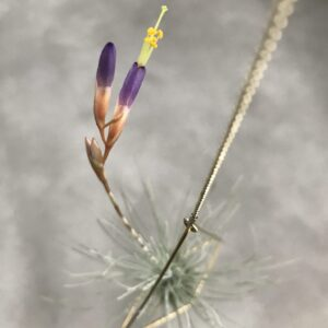 Tillandsia argentea triagle no.1